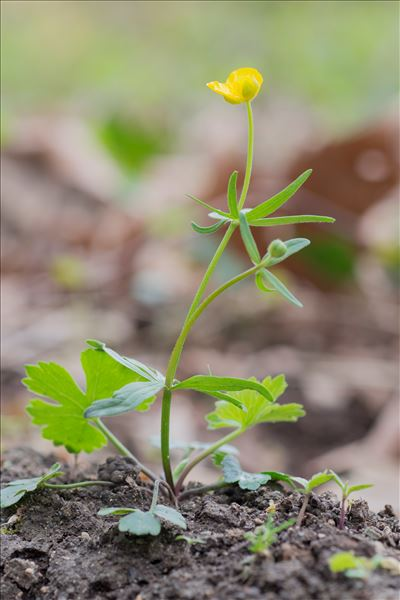 Ranunculus auricomus L.