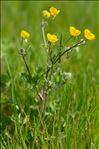 Ranunculus bulbosus L.