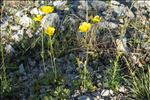 Photo 2/2 Ranunculus monspeliacus L.