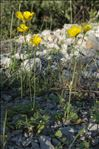 Ranunculus monspeliacus L.