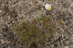 Ranunculus ololeucos J.Lloyd
