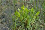 Photo 3/9 Ranunculus ophioglossifolius Vill.