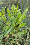 Photo 2/9 Ranunculus ophioglossifolius Vill.