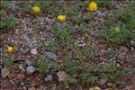 Photo 7/7 Ranunculus paludosus Poir.