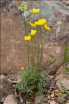 Photo 4/7 Ranunculus paludosus Poir.