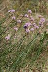 Photo 1/2 Armeria arenaria (Pers.) Schult.