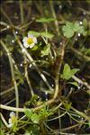 Ranunculus peltatus subsp. baudotii (Godr.) Meikle ex C.D.K.Cook