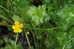 Photo 2/2 Ranunculus repens L.