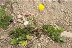 Ranunculus sardous Crantz f. sardous