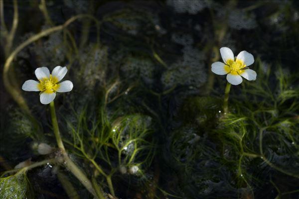 Ranunculus trichophyllus subsp. drouetii (F.W.Schultz ex Godr.) P.Fourn.