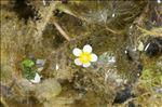 Ranunculus trichophyllus Chaix subsp. trichophyllus