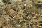 Ranunculus trichophyllus subsp. eradicatus (Laest.) C.D.K.Cook