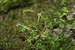 Ranunculus tripartitus DC.