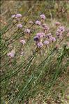 Armeria arenaria (Pers.) Schult. subsp. arenaria