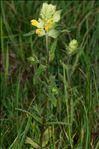 Rhinanthus alectorolophus (Scop.) Pollich