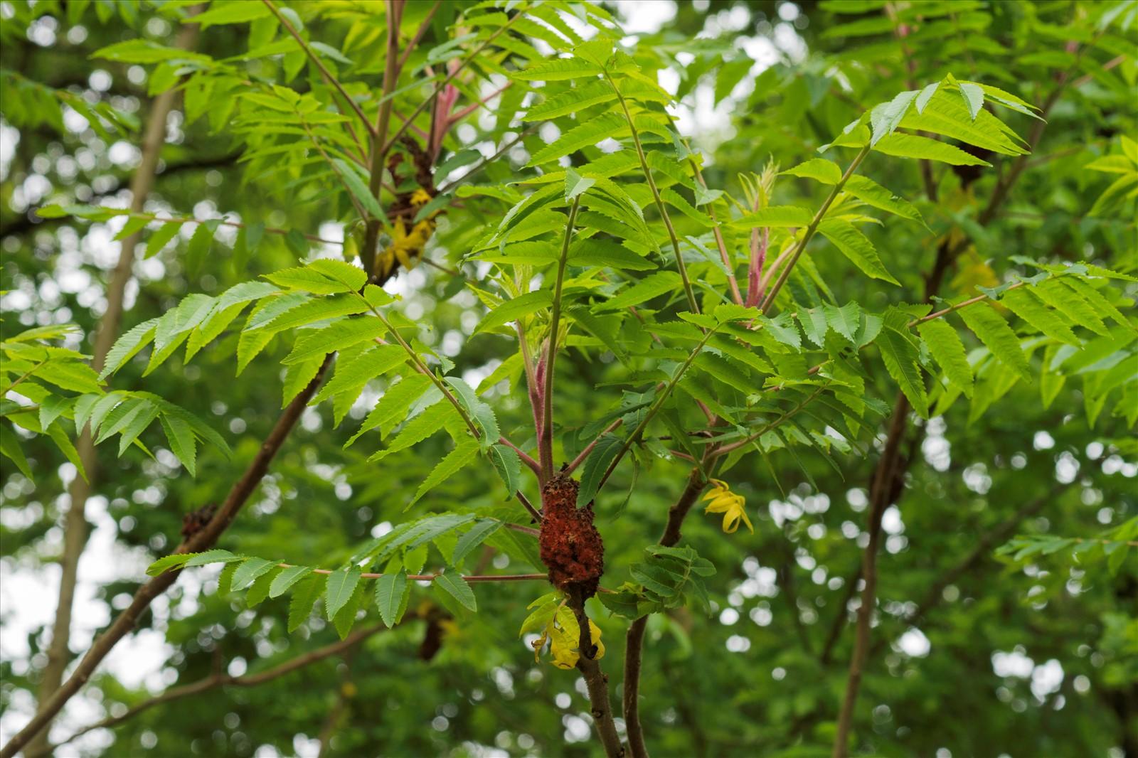 Rhus typhina l for Plantes par internet