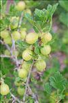 Photo 3/5 Ribes uva-crispa L.