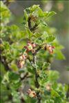 Photo 1/5 Ribes uva-crispa L.