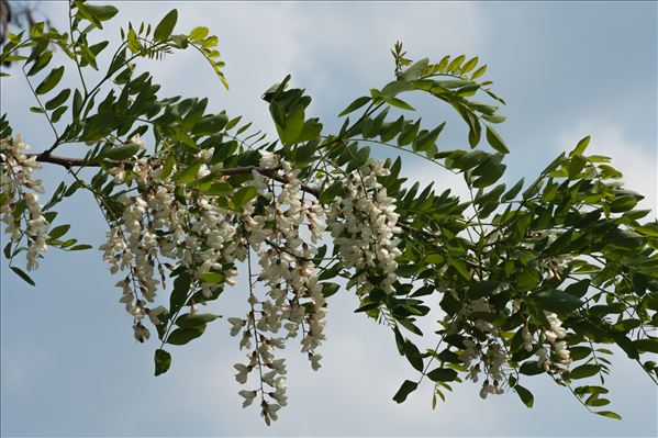 Robinia pseudoacacia L.