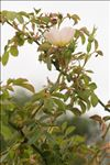 Rosa agrestis Savi