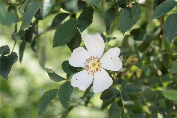 Rosa arvensis Huds.