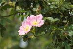 Photo 3/4 Rosa rubiginosa L.